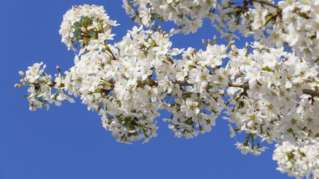 Detail of a cherry tree in the branch, in pink, pink, white, with a blurred background