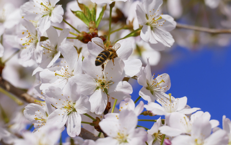 Bee with little bag, collection nectar in a blossom, from the Japanese cherry tree