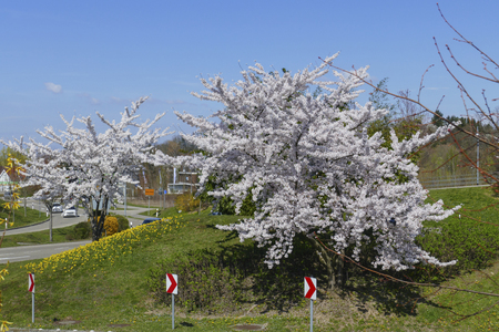 Traffic in a circle in the B500, feeders in Baden-Baden with blossoming trees