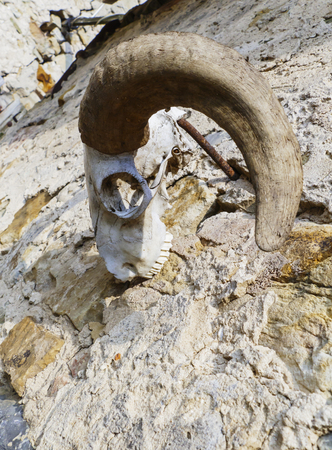 Skull, skeleton of a goat, with big, crooked horns, hangs by a wall