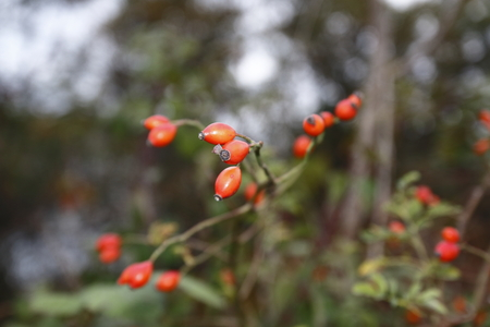 Rose hip fruit, in the bush, with a blurred background, in autumn