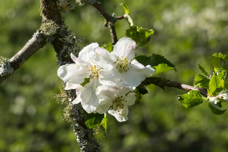 White apple blossom on the tree, with blurred background
