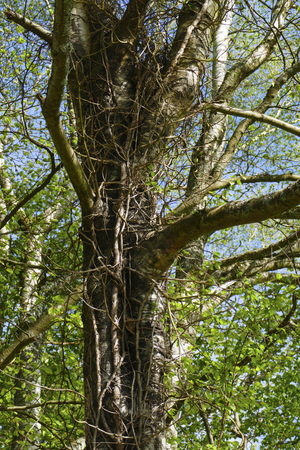 Birch, old tree, trunk entwined by ivy and lianas