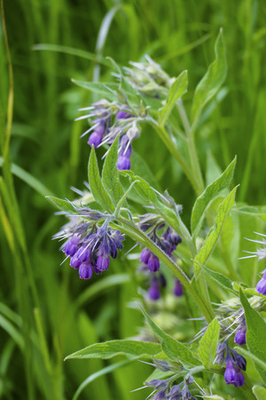 Comfrey plant with mauve, violet of colored blossom, and green leaves, on the meadow 写真素材