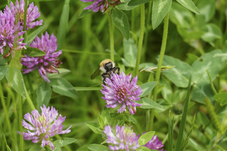 Bumblebee flies on mauve, violet of colored meadows clover blossom, on a meadow Standard-Bild