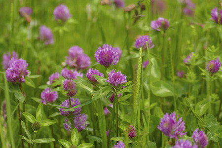 Of red meadows clover plant, with mauve, violet of colored blossom, and green leaves, on the meadow Banco de Imagens