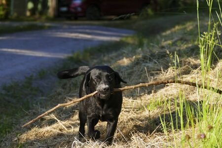 Young labrador dog runs on a meadow with a long floor in the mouth Reklamní fotografie