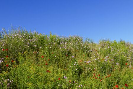 Meadow, flower meadow with colored flowers and grass in summer