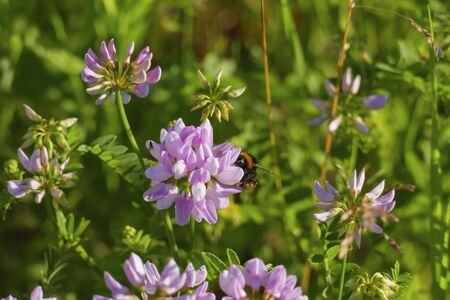 Colorful crown vetch, vetch, securigera varia with a bumblebee collecting nectar