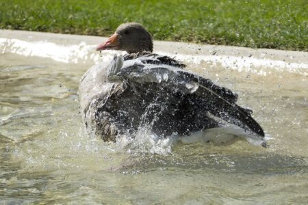 Canadian goose splashes in the water and refreshes itself with the big heat