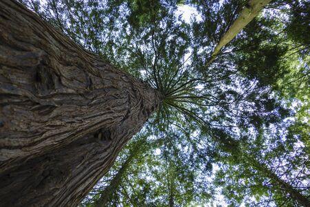 Gigantic Douglas fir with tall shoots Imagens