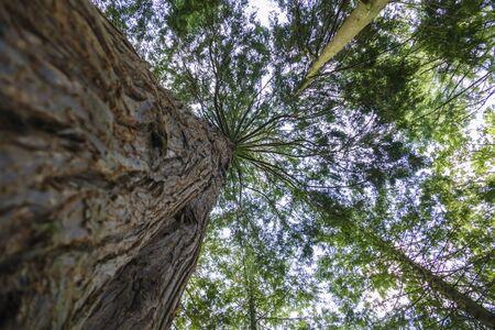 Gigantic Douglas fir with tall shoots