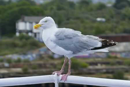 Cheeky seagull sits fearlessly on the ferrys railing, in background Newcastle upon Tyne 写真素材