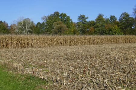 Maize field with corn, corncobs shortly before and during harvesting