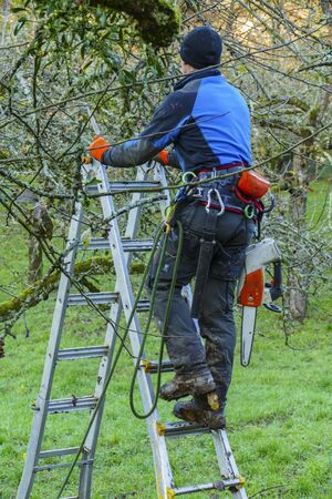 Man, tree surgeon on a ladder sawing branches off a tree