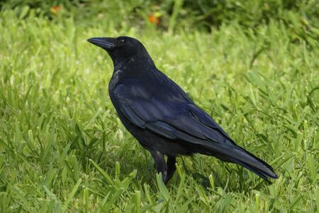 Black raven, crow strutting in the grass