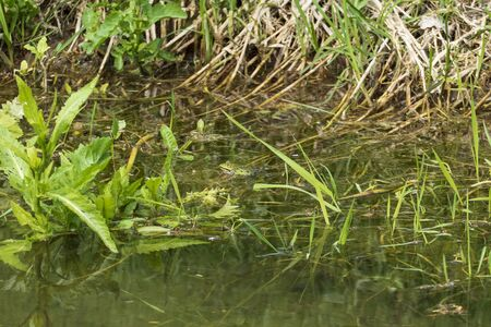 Frogs sit camouflaged at the spawning place on the shore in the reeds