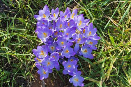 Purple, ultra violet crocuses, flower carpet on a meadow