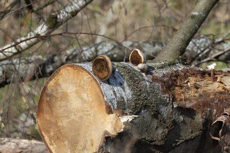 Small tree mushrooms on an old, sawn-off birch