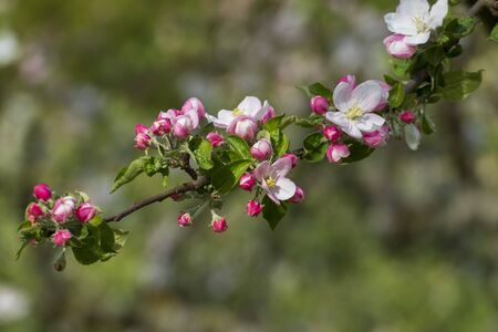 Apel blossom in white, pink with blurred background
