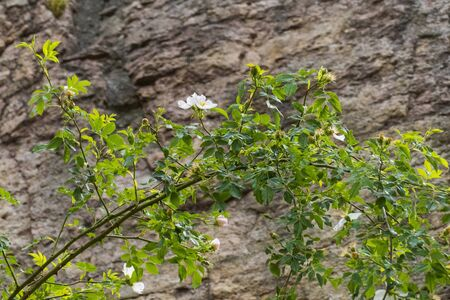 Rosehip flower, Wild Rose with buds in white, yellow