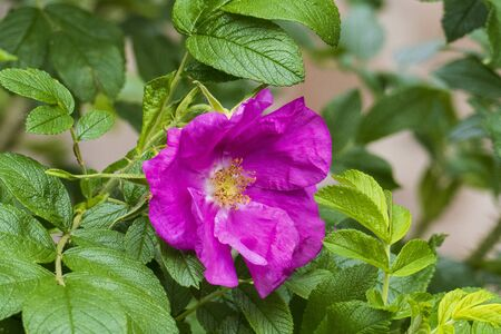 Rosehip flower, Wild Rose with buds in purple, violet