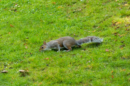 Gray Squirrel - Plague in Pittencrieff Park in Scotland 免版税图像