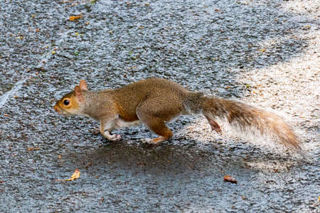Gray Squirrel - Plague in Pittencrieff Park in Scotland Stock Photo