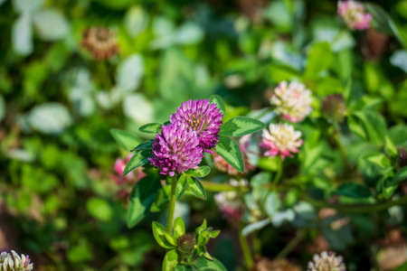 Red meadows clover plant, with purple, violet blossom