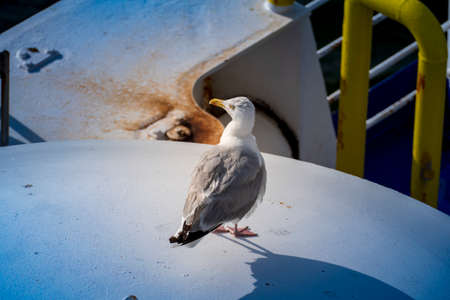 Seagull sitting on a flagpole and looking into the distance