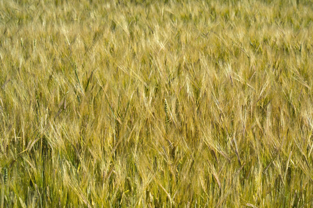 vulgare: Hordeum vulgare barley field Stock Photo