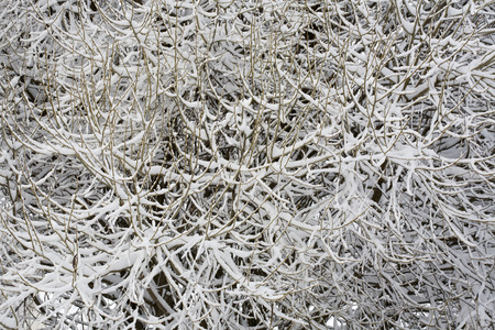 salix fragilis: Crack willow branches covered with snow