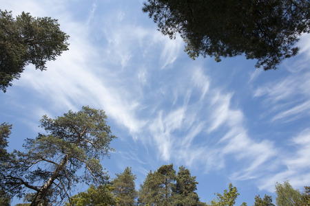 treetops: Cirrus clouds with tree tops Stock Photo