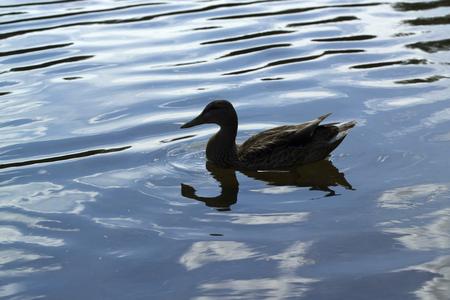 duck silhouette: duck silhouette Stock Photo