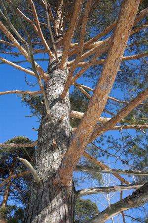 pinus sylvestris: Pinus sylvestris pine, Finland