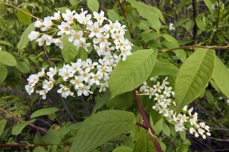 Prunus padus, Hackberry blooming, Finland