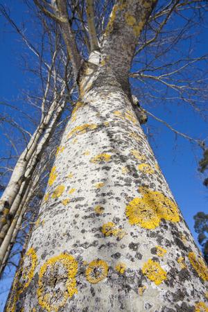 winter finland: Populus tremula aspen at winter, Finland