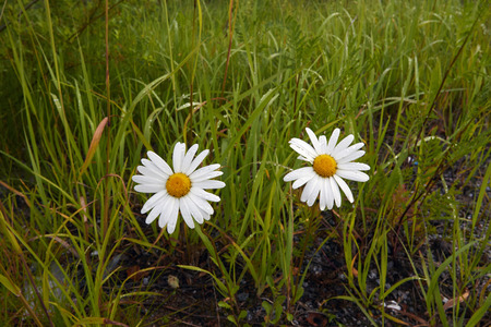 oxeye: Leucanthemum vulgare; Oxeye daisy; common daisy