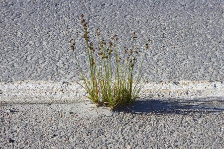 tuft: tuft of grass growing on roadside