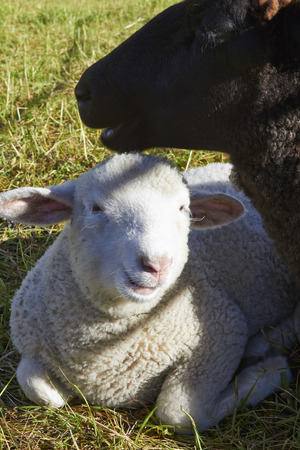 ewe: white lamb resting by its ewe Stock Photo