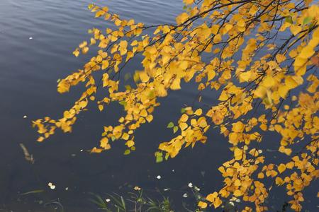 finland: birch foliage, Finland Stock Photo