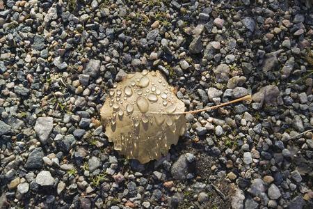 aspen leaf: water drops on aspen leaf Stock Photo