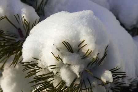 wintery day: snowy needles