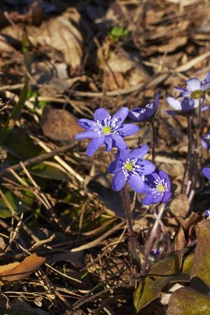 nobilis: Hepatica nobilis, liverwort Stock Photo