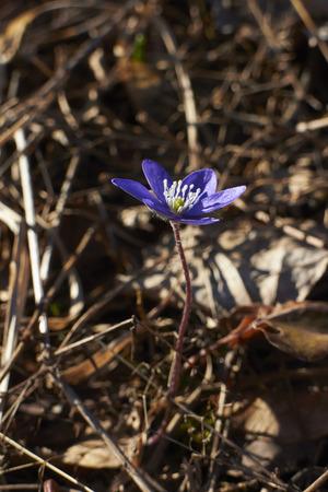 liverwort: Hepatica nobilis, liverwort Stock Photo