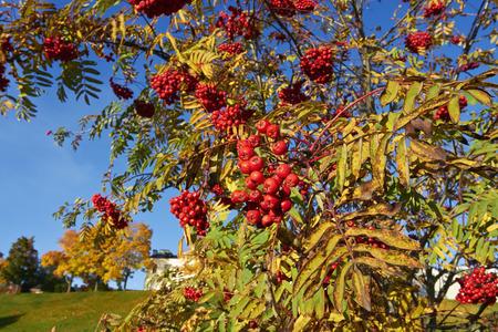 eberesche: Rowan berries, Finland Lizenzfreie Bilder