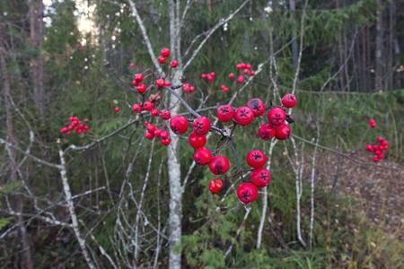 Rowan berries, Finland Stock Photo