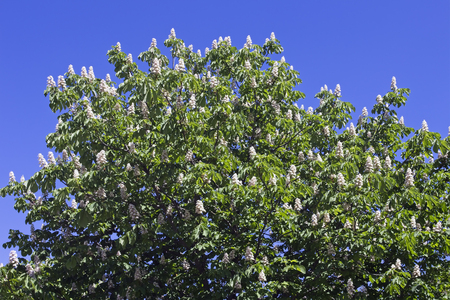 Aesculus hippocastanum, horse chestnut tree blooming Stock Photo