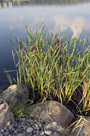 Typha latifolia, bullrush growing on lakeshore, Finland