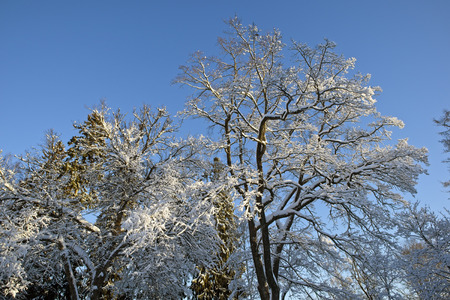 snowy trees against blue sky, Finland